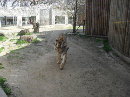Амурский тигр в Ростовском зоопарке